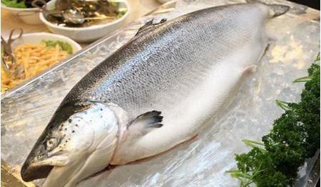 转基因三文鱼走向餐桌 转基因三文鱼吃了有害吗