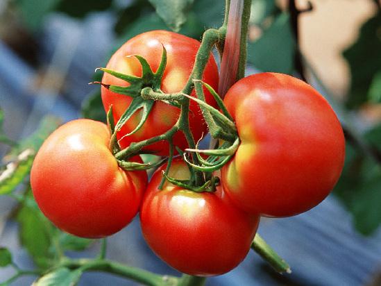 西红柿能拌白糖吗?西红柿拌白糖的危害