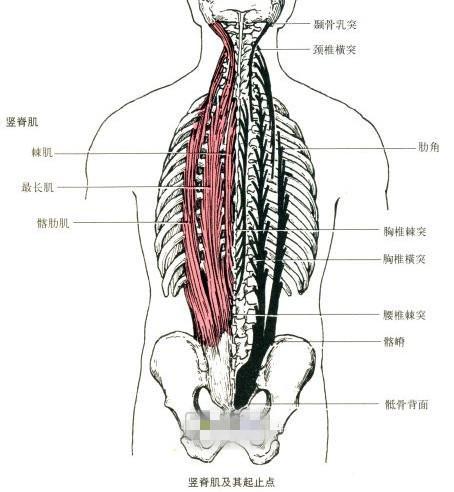 竖脊肌——身体最重要却最易劳损的肌肉