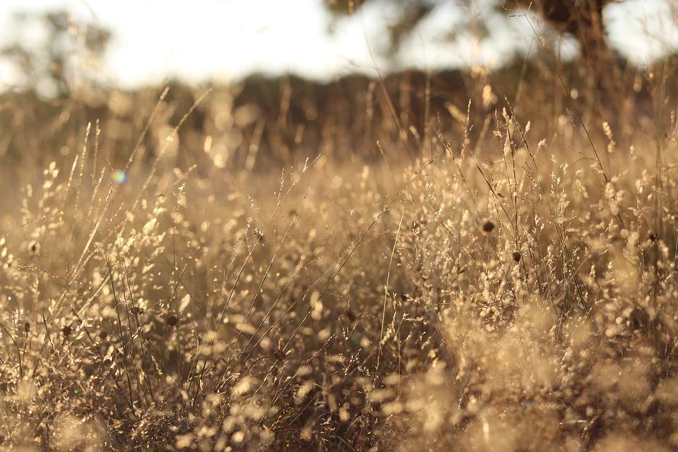 什么是大黄草,大黄草的功效有哪些?
