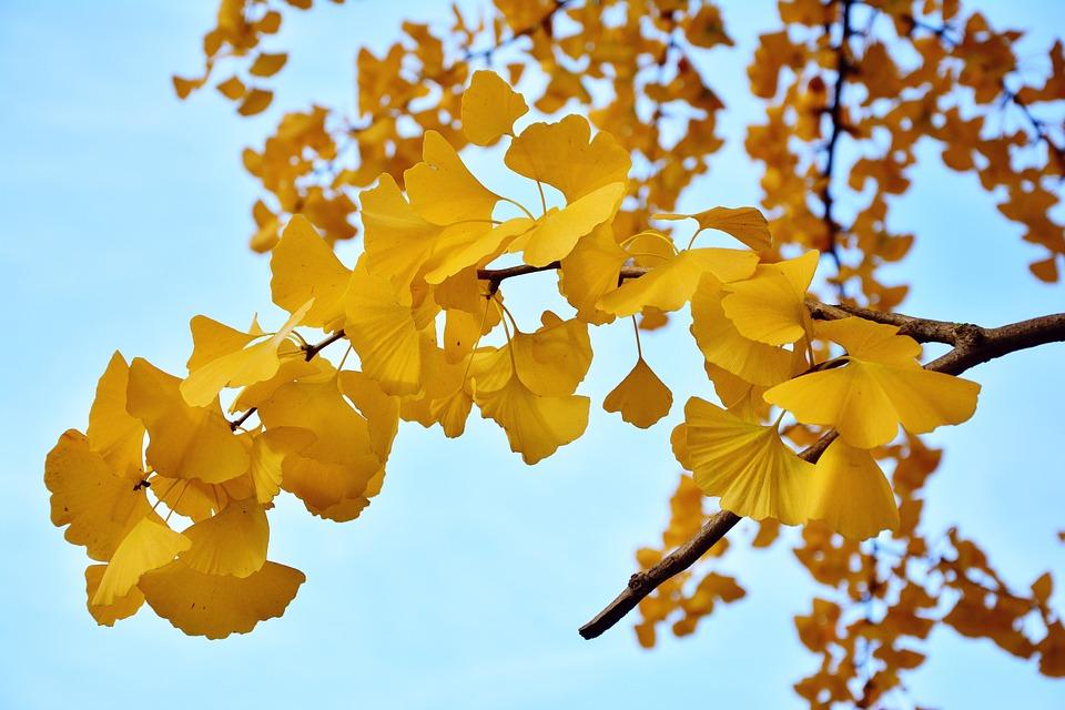 什么是银杏,银杏的作用是什么?