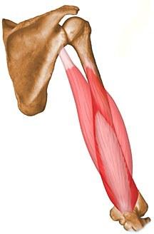 健身常识!肱三头肌位置及功能详解