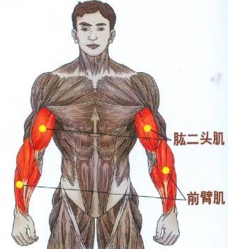 关于肱二头肌基础知识你知道多少?