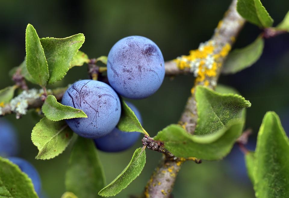 什么是苦莓,苦莓的好处是什么?