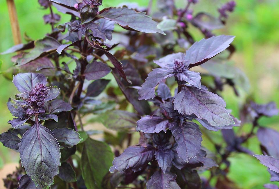 什么是紫苏,紫苏的好处是什么?