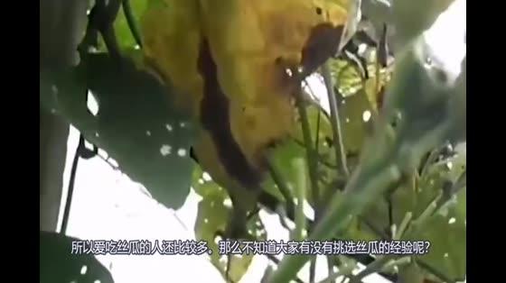 吃丝瓜吗千万注意了!有个小细节万万不能忽视!