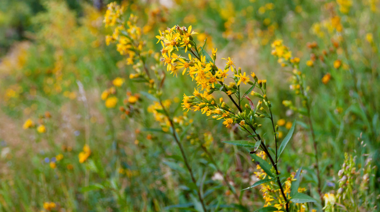 什么是圣约翰草,圣约翰草的功效有哪些?