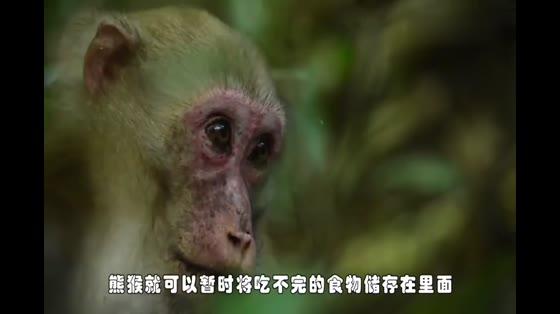 神奇的熊猴,可以在自己的腮帮子里储存食物,等饿的时候再吃