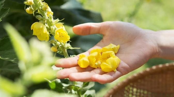 什么是毛蕊花茶,毛蕊花的功效与作用有哪些?