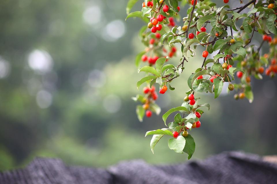 菩提树茶的好处你知道吗?
