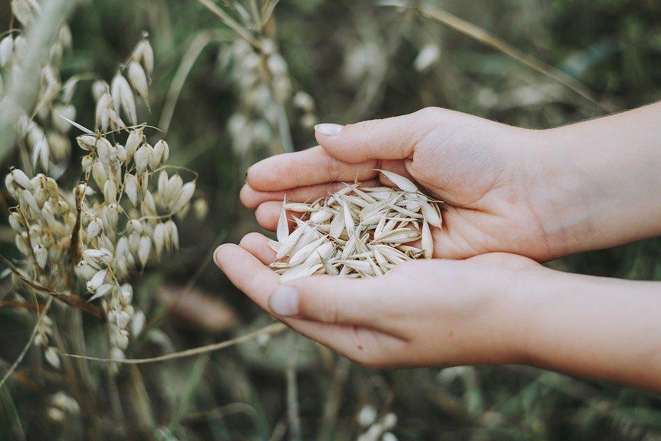 燕麦的营养有哪些,燕麦对健康有什么好处?